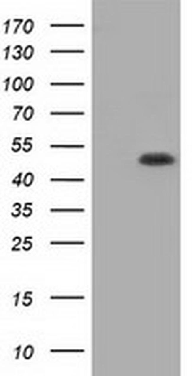 GORASP1 Mouse anti-Canine, Human, Rat, Clone: OTI5C5, liquid, TrueMAB