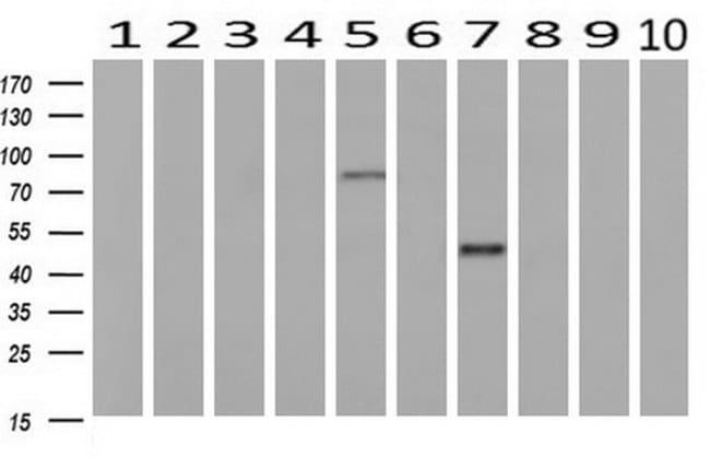 GORASP1 Mouse anti-Human, Clone: OTI4F8, liquid, TrueMAB  100 µL;
