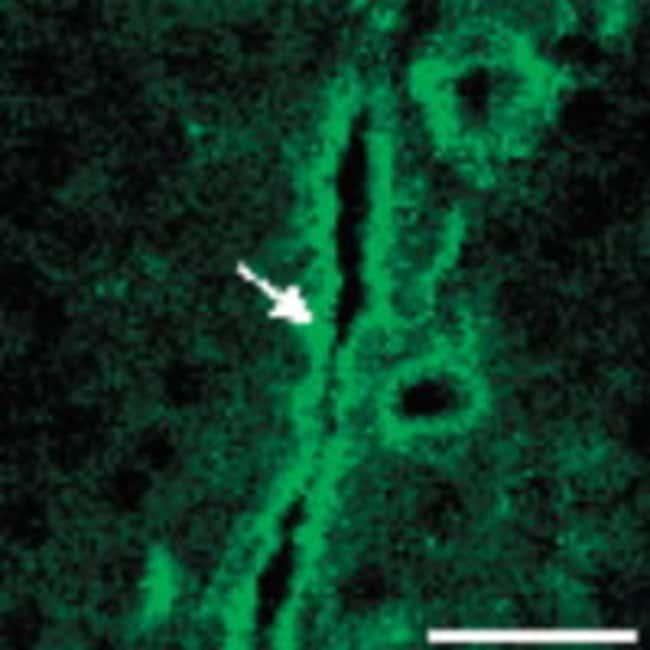 CD39 Guinea Pig anti-Rat, Polyclonal, Neuromics:Antibodies:Primary Antibodies