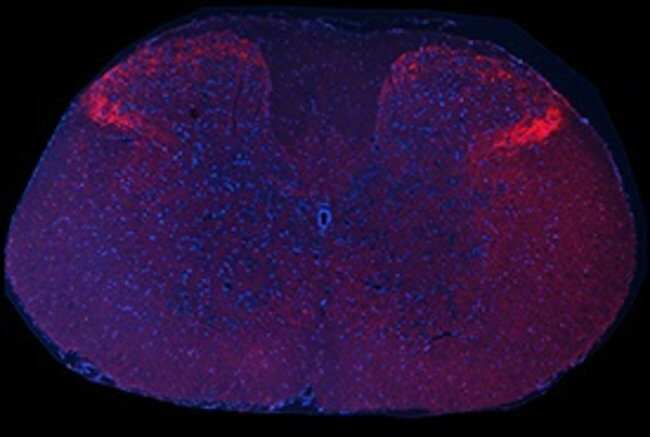 Substance P Guinea Pig anti-Human, Mouse, Rat, Polyclonal, Neuromics:Antibodies:Primary