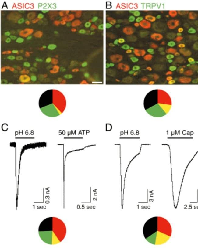 ASIC 3 Guinea Pig anti-Rat, Polyclonal, Neuromics:Antibodies:Primary Antibodies