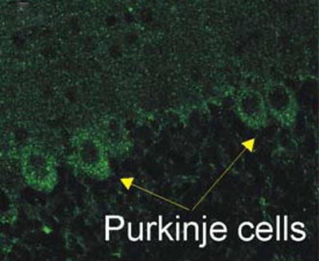 P2X2 Guinea Pig anti-Human, Rat, Polyclonal, Neuromics:Antibodies:Primary
