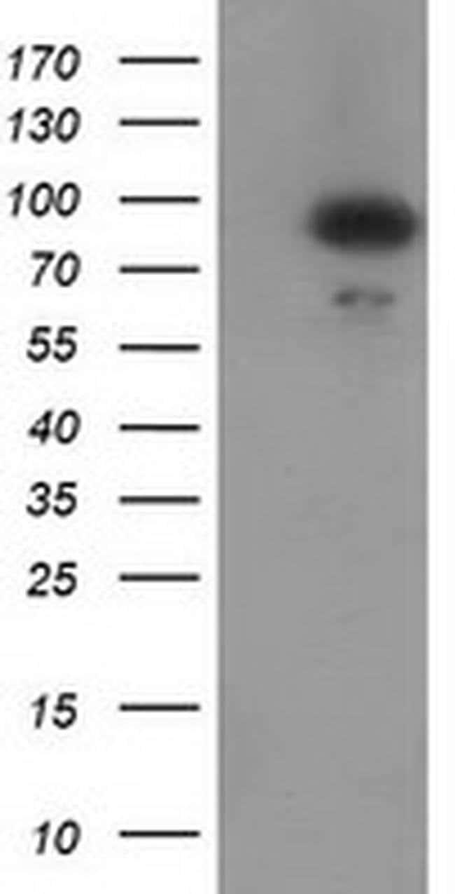 GPHN Mouse anti-Human, Rat, Clone: OTI3A6, liquid, TrueMAB  100 µL;