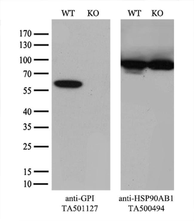 GPI Mouse anti-Human, Clone: OTI5G9, liquid, TrueMAB  100 µL; Unconjugated