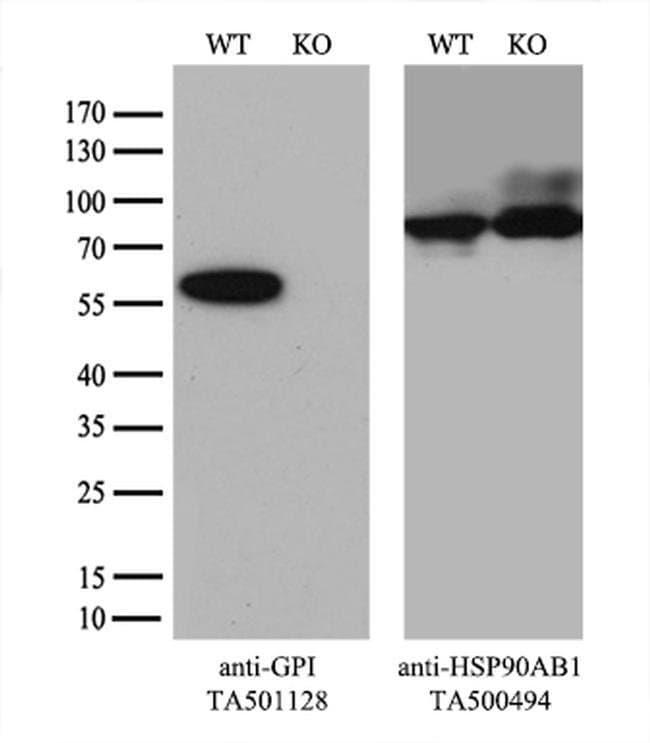 GPI Mouse anti-Human, Clone: OTI4B11, liquid, TrueMAB  100 µL; Unconjugated