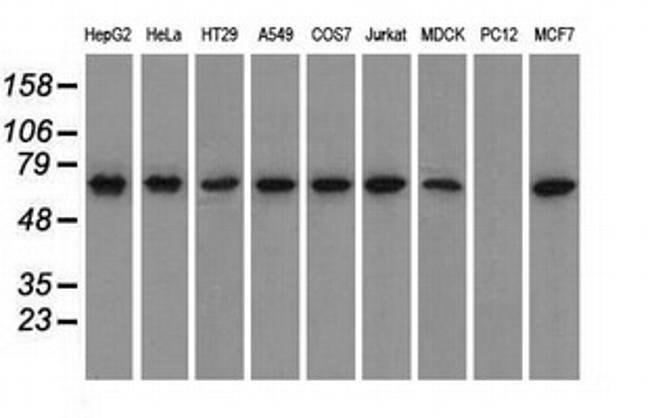 GPI Mouse anti-Canine, Human, Clone: OTI5A11, liquid, TrueMAB  100 µL;