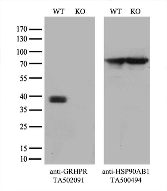 GRHPR Mouse anti-Human, Clone: OTI2H4, liquid, TrueMAB  100 µL; Unconjugated