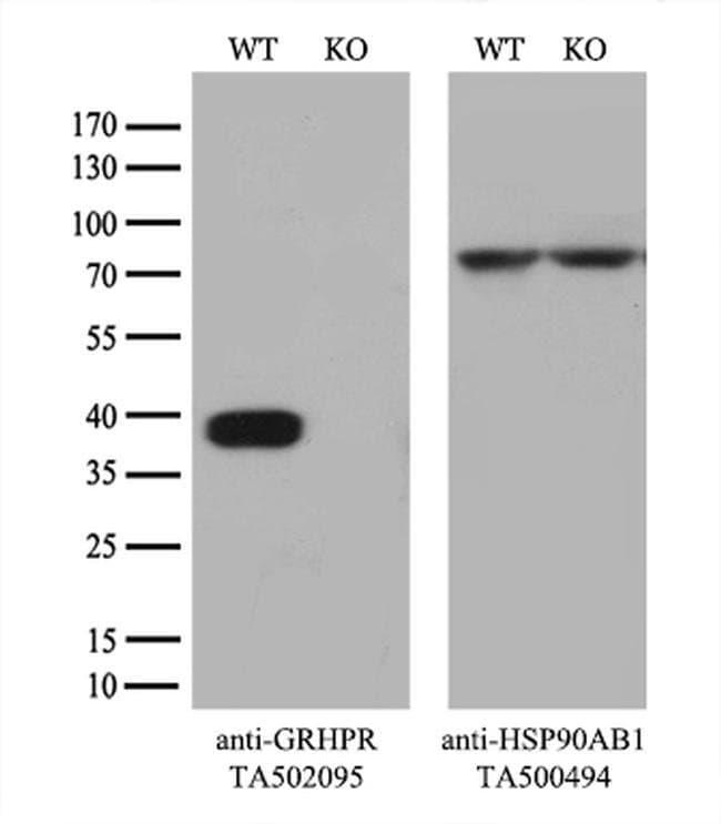 GRHPR Mouse anti-Human, Clone: OTI1H8, liquid, TrueMAB  100 µL; Unconjugated