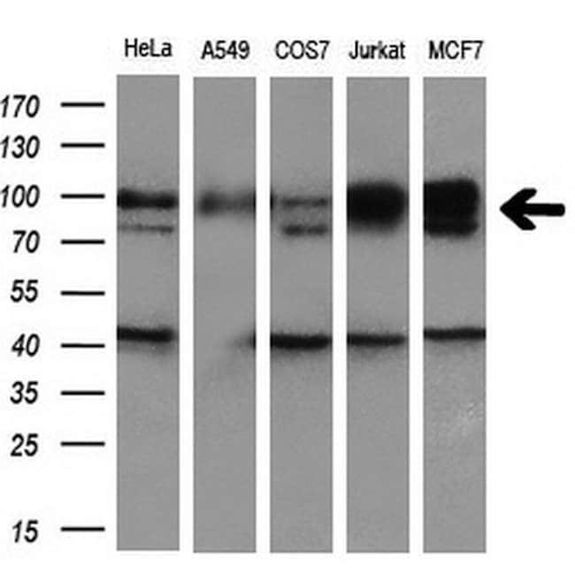 GRIPAP1 Mouse anti-Human, Clone: OTI1F4, liquid, TrueMAB  100 µL;
