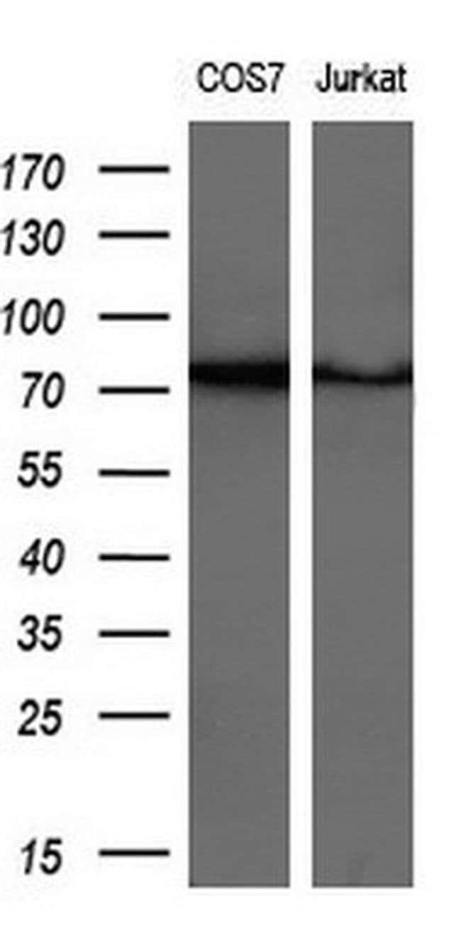GSPT2 Mouse anti-Human, Clone: OTI2G9, liquid, TrueMAB  30 µL; Unconjugated
