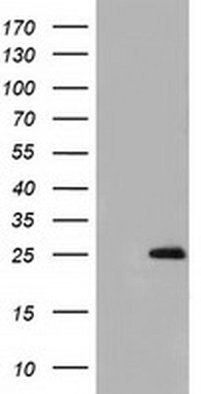 GSTA4 Mouse anti-Human, Clone: OTI1E2, liquid, TrueMAB  30 µL; Unconjugated