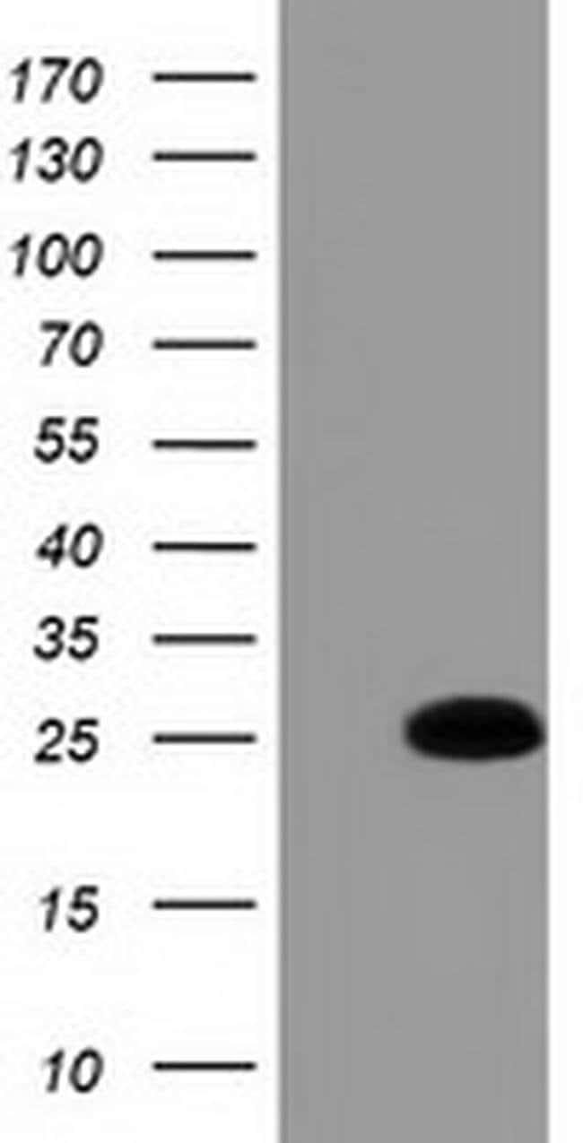 GSTA4 Mouse anti-Human, Clone: OTI3F5, liquid, TrueMAB  100 µL; Unconjugated