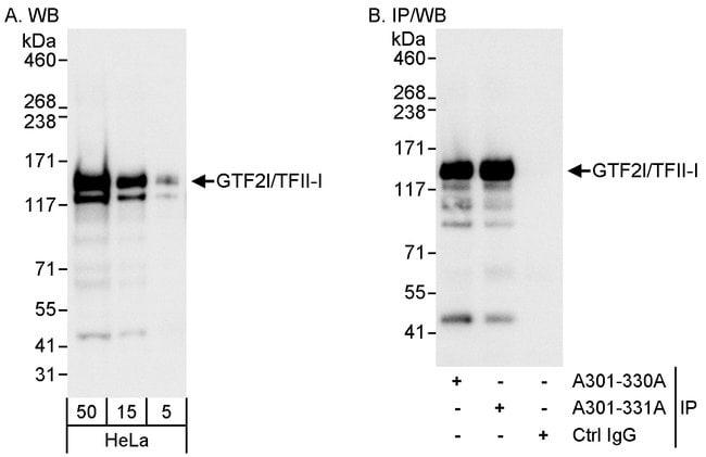 GTF2I/TFII-I Rabbit anti-Human, Mouse, Polyclonal, Bethyl Laboratories