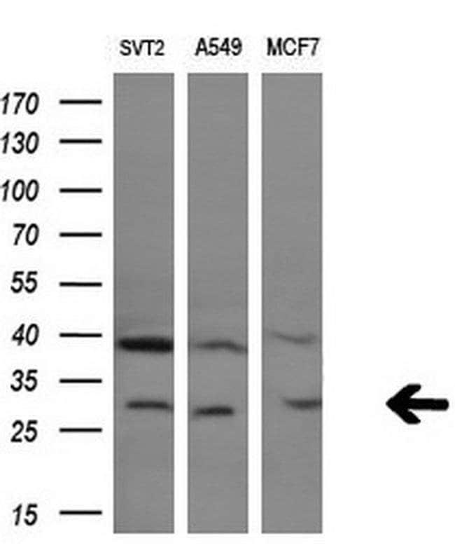 GZMB Mouse anti-Human, Clone: OTI4E4, liquid, TrueMAB  100 µL; Unconjugated