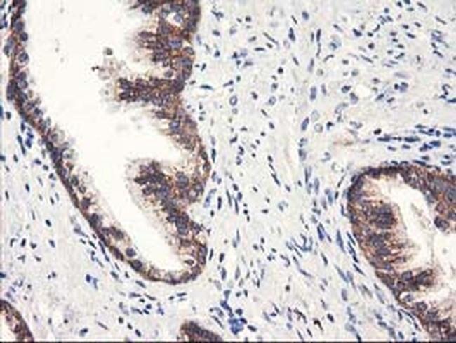 HARS2 Mouse anti-Human, Clone: OTI6F9, liquid, TrueMAB  30 µL; Unconjugated