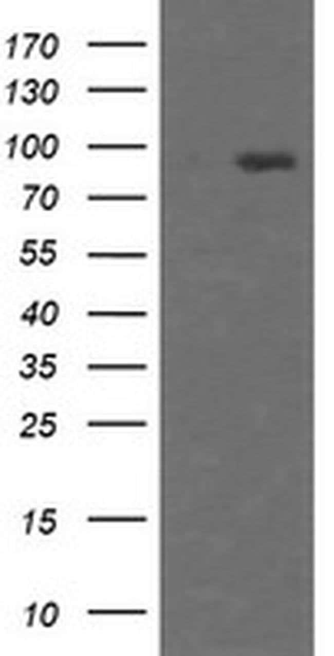 HCFC2 Mouse anti-Human, Clone: OTI4E11, liquid, TrueMAB  100 µL; Unconjugated