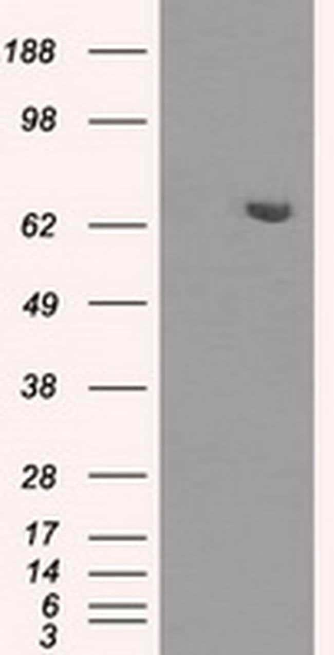 HDAC10 Mouse anti-Human, Clone: OTI5A1, liquid, TrueMAB  100 µL; Unconjugated