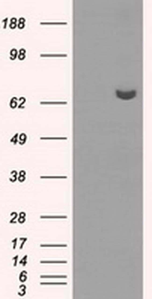 HDAC10 Mouse anti-Human, Clone: OTI5E2, liquid, TrueMAB  100 µL; Unconjugated