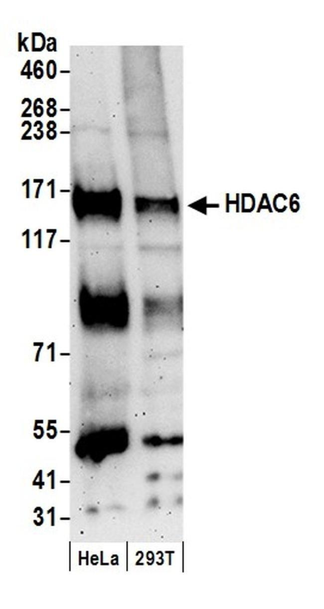 HDAC6, Polyclonal, Bethyl Laboratories 100 μL; Unconjugated:Antibodies