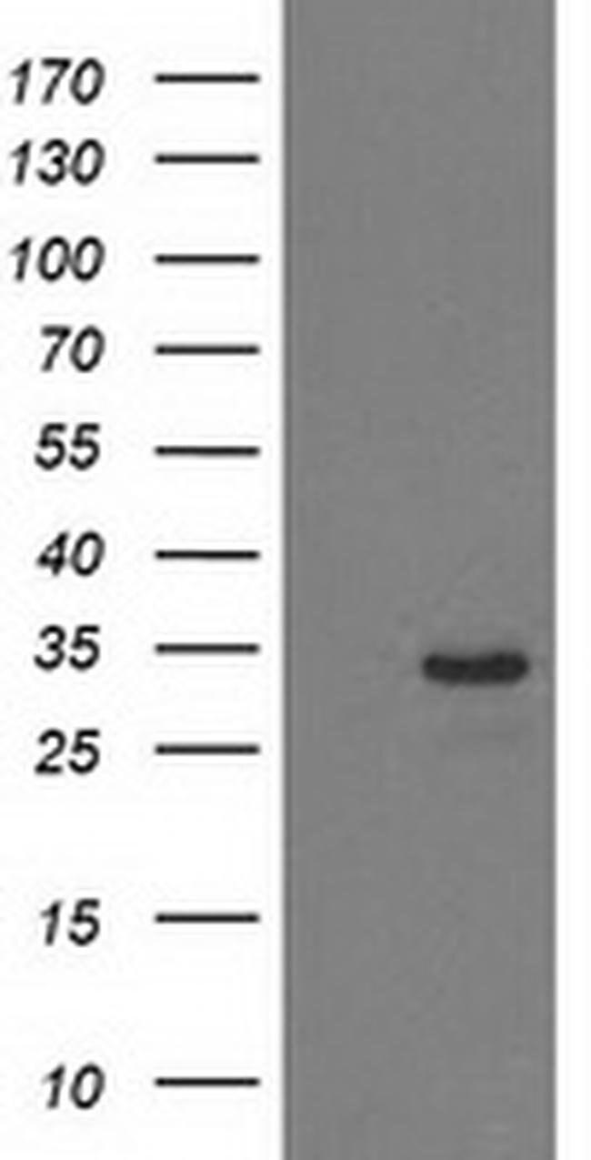 HDHD2 Mouse anti-Human, Clone: OTI4G3, liquid, TrueMAB  100 µL; Unconjugated