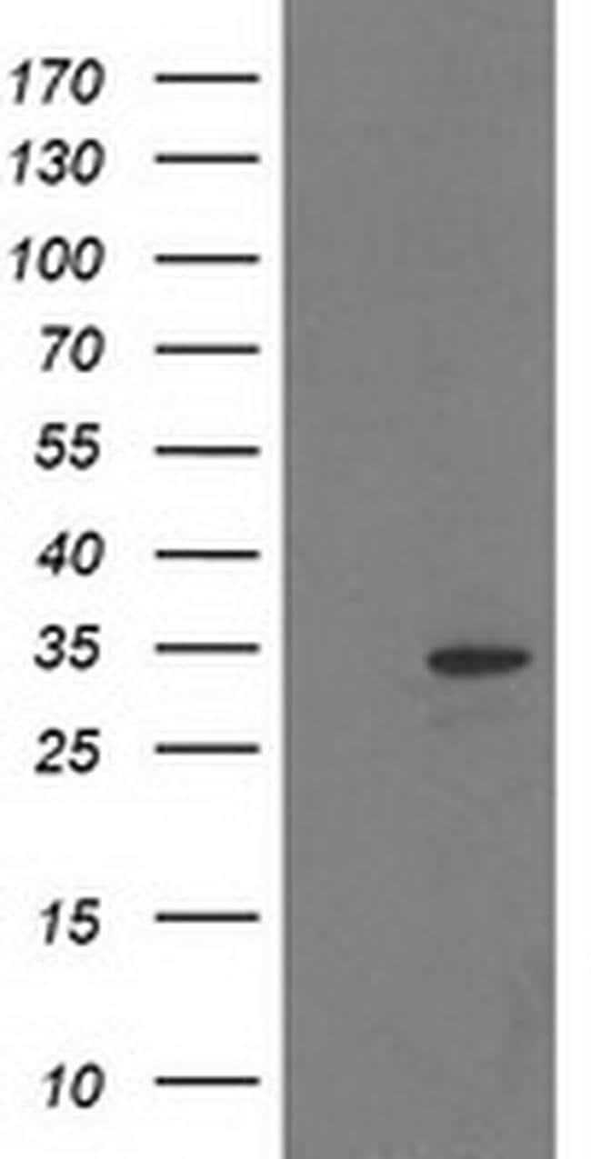 HDHD2 Mouse anti-Human, Clone: OTI1H6, liquid, TrueMAB  100 µL; Unconjugated