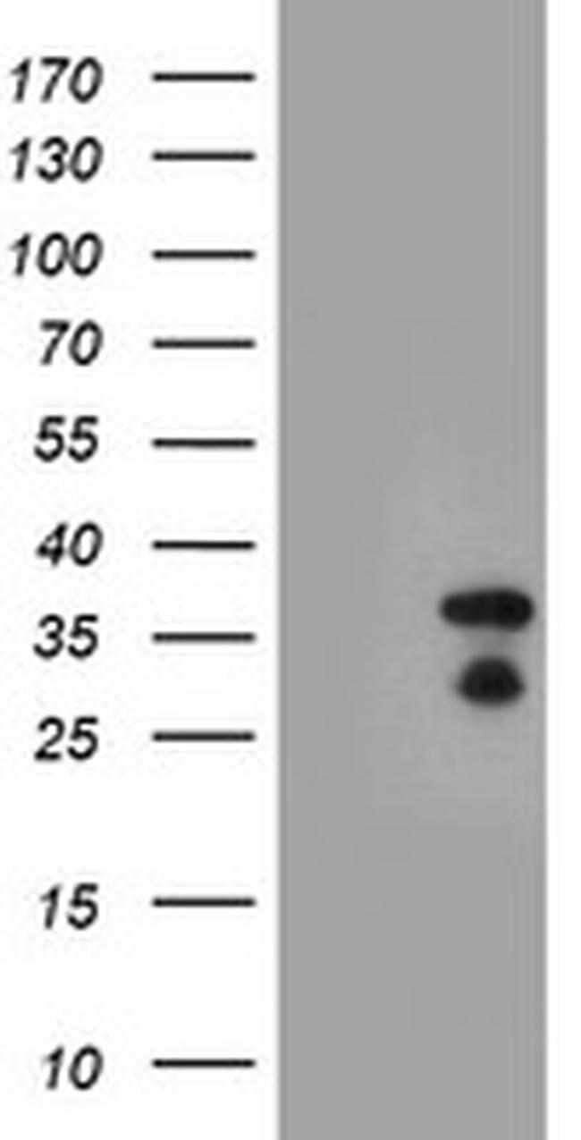 HES1 Mouse anti-Human, Clone: OTI1H8, liquid, TrueMAB  100 µL; Unconjugated