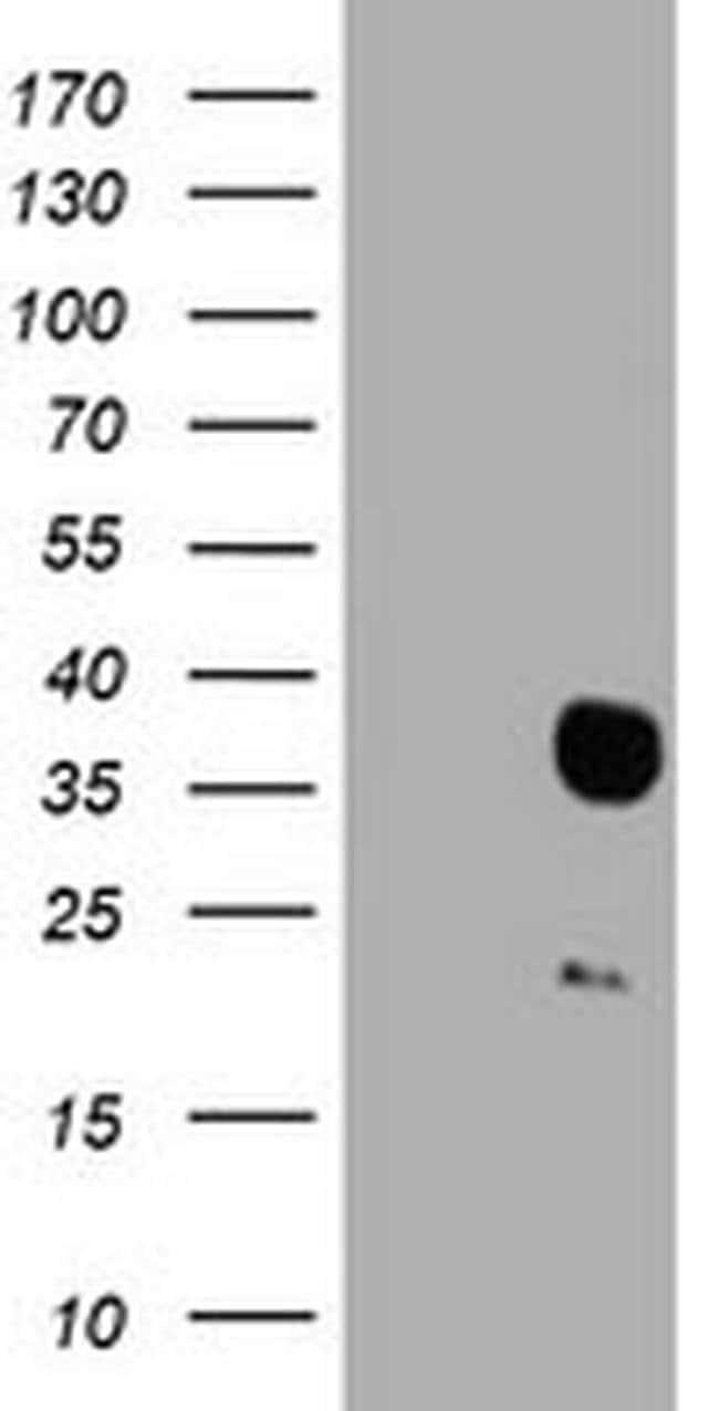 HES1 Mouse anti-Human, Clone: OTI1F11, liquid, TrueMAB  100 µL; Unconjugated