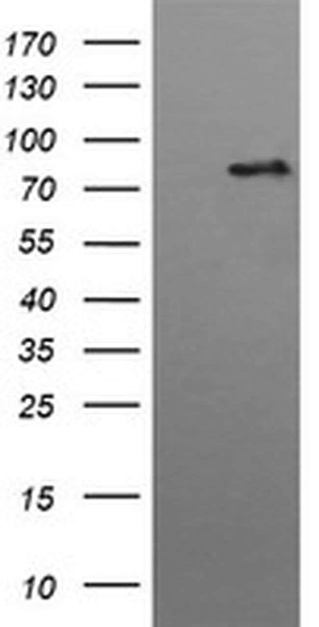HGS Mouse anti-Human, Clone: OTI3H7, liquid, TrueMAB  100 µL; Unconjugated