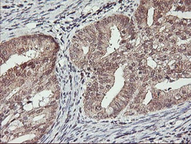 HLCS Mouse anti-Human, Clone: OTI1E4, liquid, TrueMAB  100 µL; Unconjugated