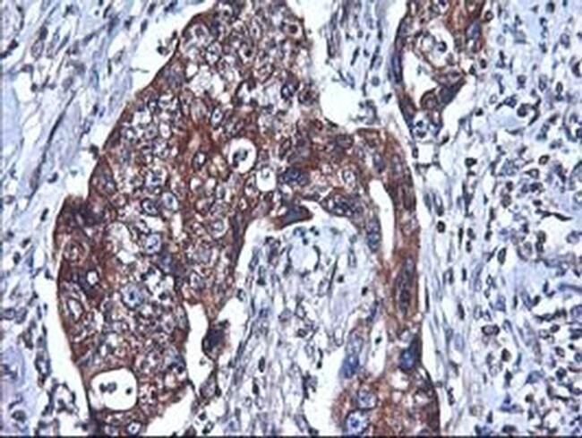 HMOX2 Mouse anti-Human, Clone: OTI1C2, liquid, TrueMAB  100 µL; Unconjugated