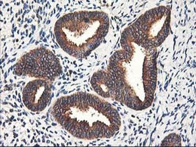 HMOX2 Mouse anti-Human, Clone: OTI1B4, liquid, TrueMAB  100 µL; Unconjugated