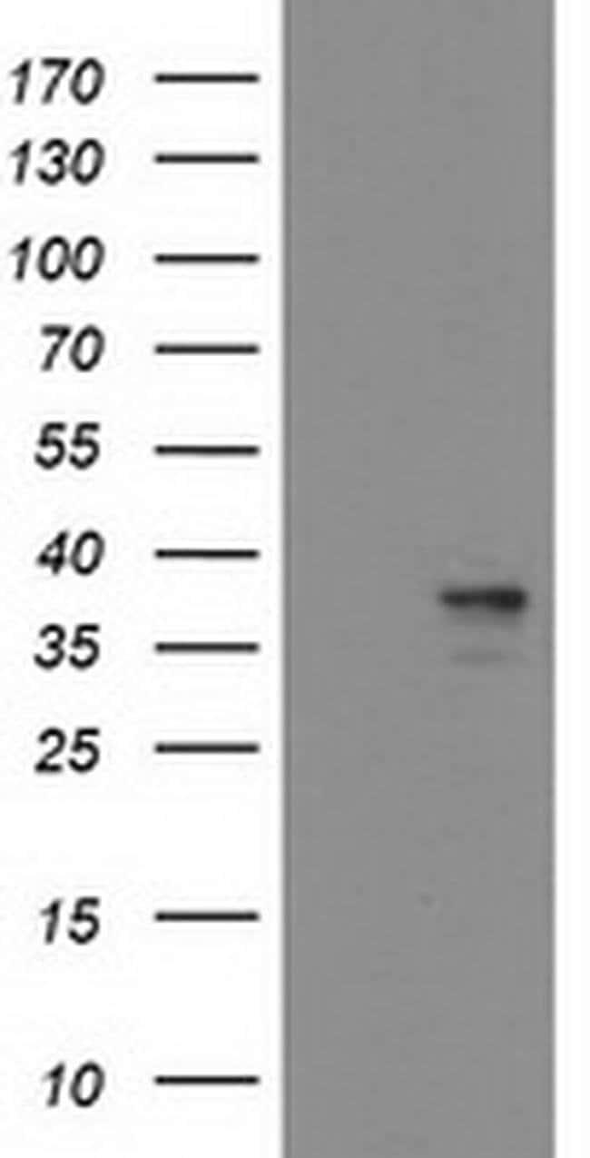 HMOX2 Mouse anti-Human, Clone: OTI1D10, liquid, TrueMAB  100 µL; Unconjugated