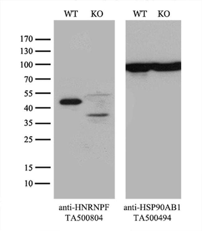 HNRNPF Mouse anti-Human, Clone: OTI5F5, liquid, TrueMAB  30 µL; Unconjugated