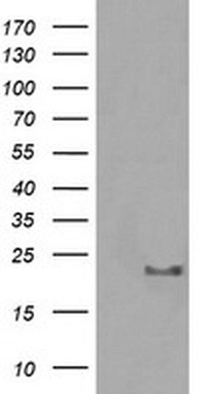 HRAS Mouse anti-Canine, Human, Mouse, Rat, Clone: OTI1C2, liquid, TrueMAB