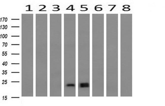 HRAS Mouse anti-Canine, Human, Mouse, Clone: OTI2A1, liquid, TrueMAB  30