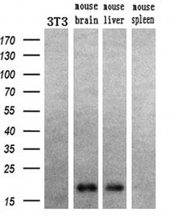HRAS Mouse anti-Canine, Human, Mouse, Rat, Clone: OTI1A1, liquid, TrueMAB