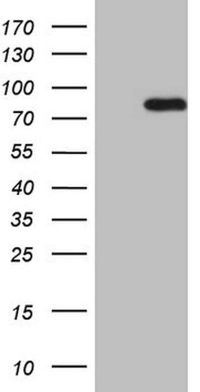 HSF2 Mouse anti-Human, Clone: OTI5C1, lyophilized, TrueMAB  100 µg;