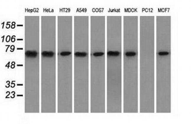HSPA1A Mouse anti-Canine, Human, Clone: OTI3C6, liquid, TrueMAB  100 µL;