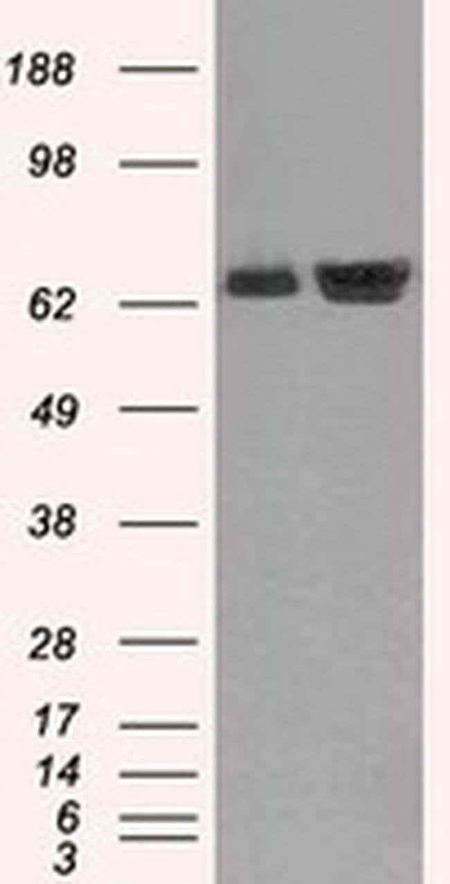 HSPA1A Mouse anti-Canine, Human, Clone: OTI1B2, liquid, TrueMAB  100 µL;