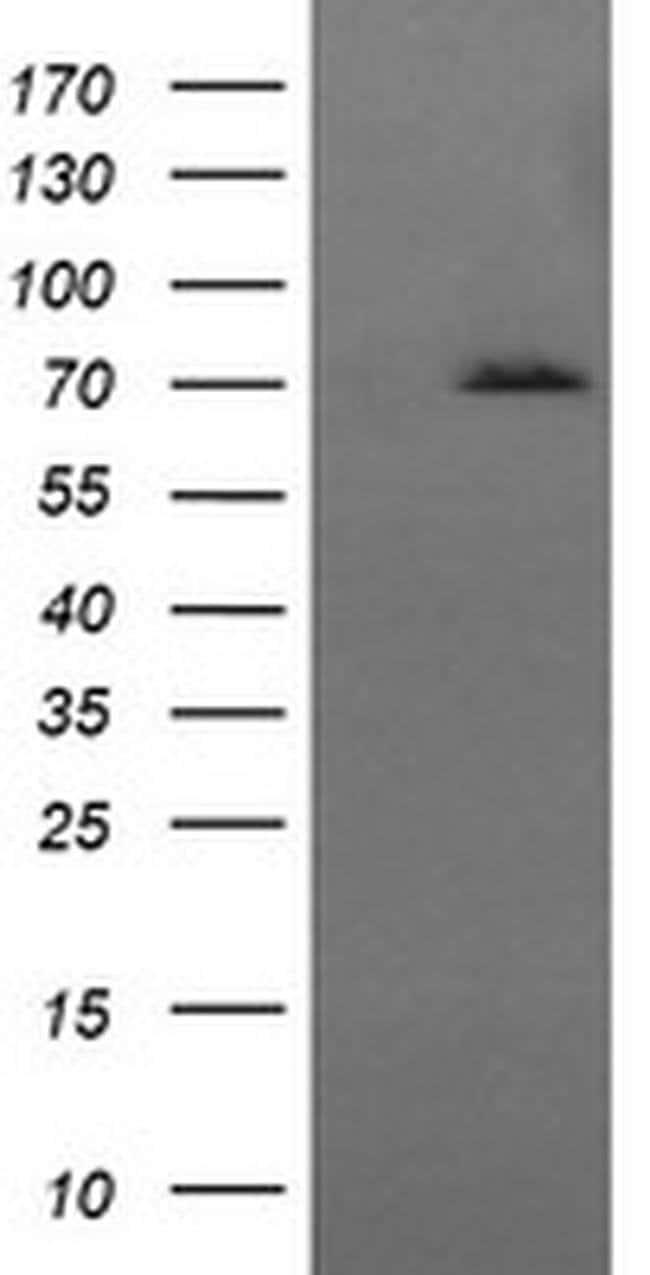 HSPA8 Mouse anti-Human, Clone: OTI1H3, liquid, TrueMAB  100 µL; Unconjugated
