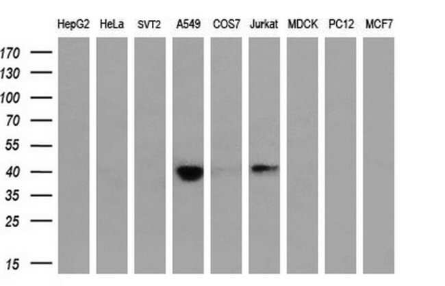 HSPBP1 Mouse anti-Human, Clone: OTI1H4, liquid, TrueMAB  100 µL; Unconjugated