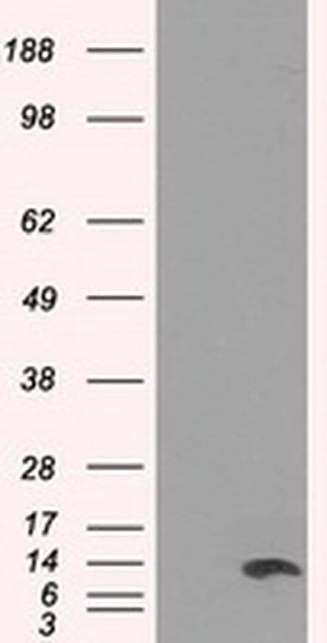 ID3 Mouse anti-Human, Clone: OTI8B3, liquid, TrueMAB  100 µL; Unconjugated