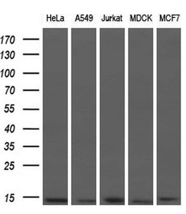 ID3 Mouse anti-Human, Clone: OTI10D3, liquid, TrueMAB  100 µL; Unconjugated