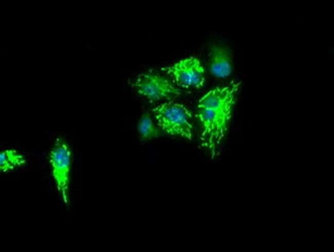 IDH3A Mouse anti-Human, Clone: OTI5D2, liquid, TrueMAB  100 µL; Unconjugated