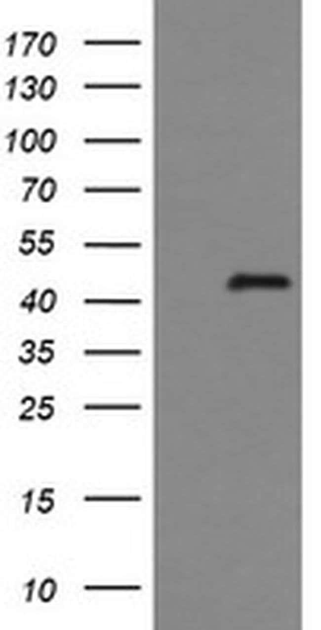 IDO1 Mouse anti-Human, Clone: OTI2G4, liquid, TrueMAB  30 µL; Unconjugated