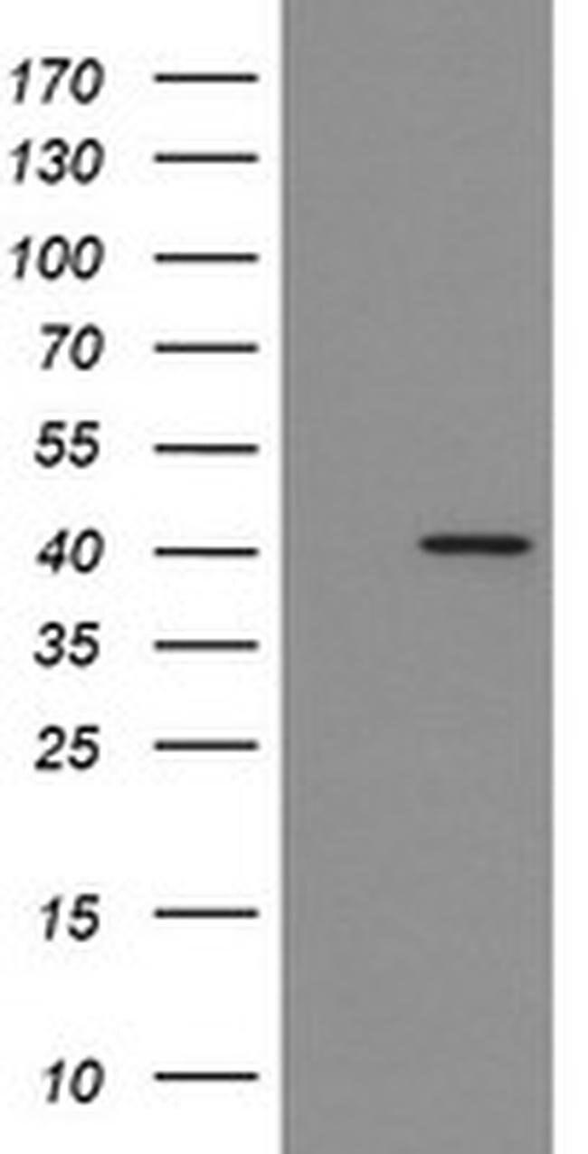 IDO1 Mouse anti-Human, Clone: OTI4C11, liquid, TrueMAB  100 µL; Unconjugated
