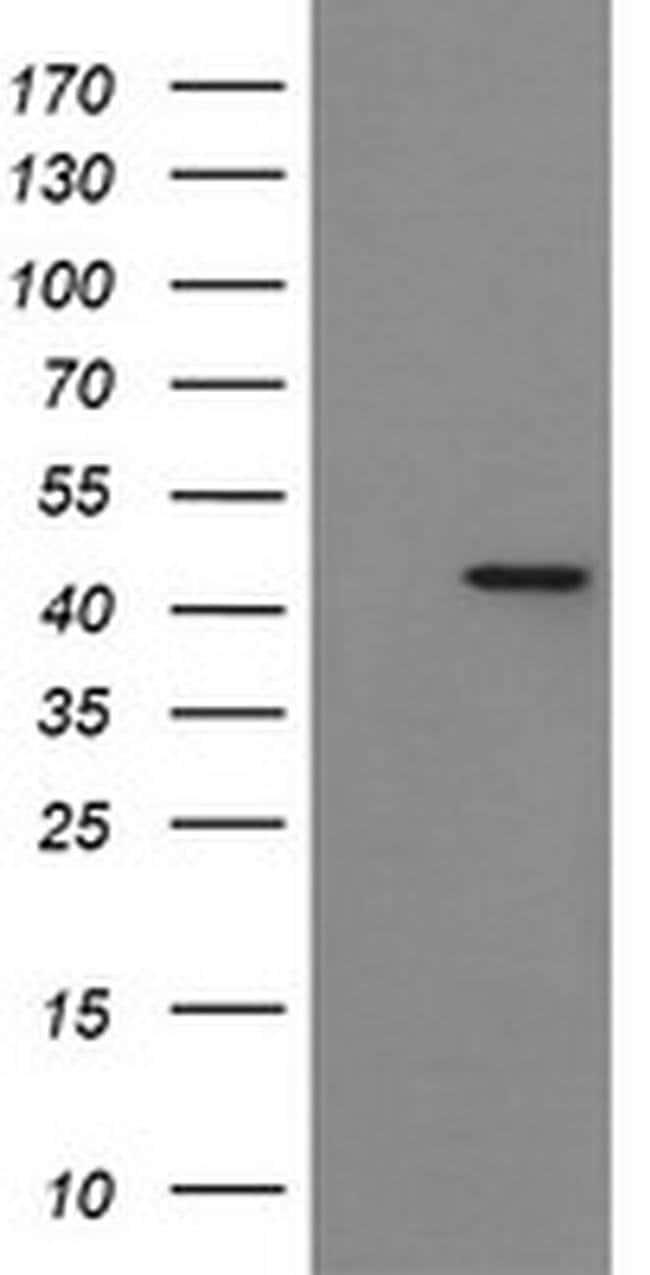 IDO1 Mouse anti-Human, Clone: OTI1F1, liquid, TrueMAB  100 µL; Unconjugated