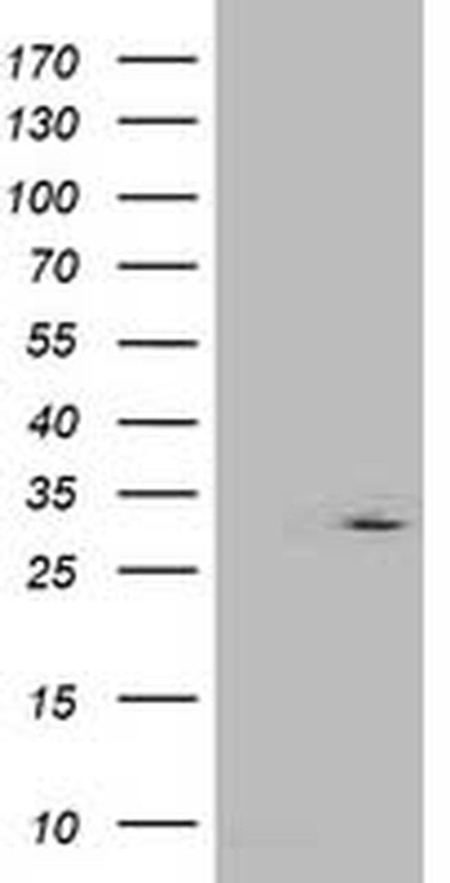IFI35 Mouse anti-Human, Clone: OTI1D9, liquid, TrueMAB  100 µL; Unconjugated