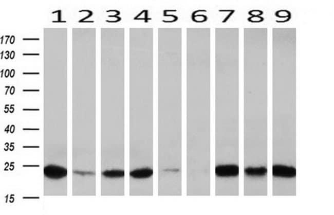IGJ Mouse anti-Human, Clone: OTI3H7, liquid, TrueMAB  100 µL; Unconjugated