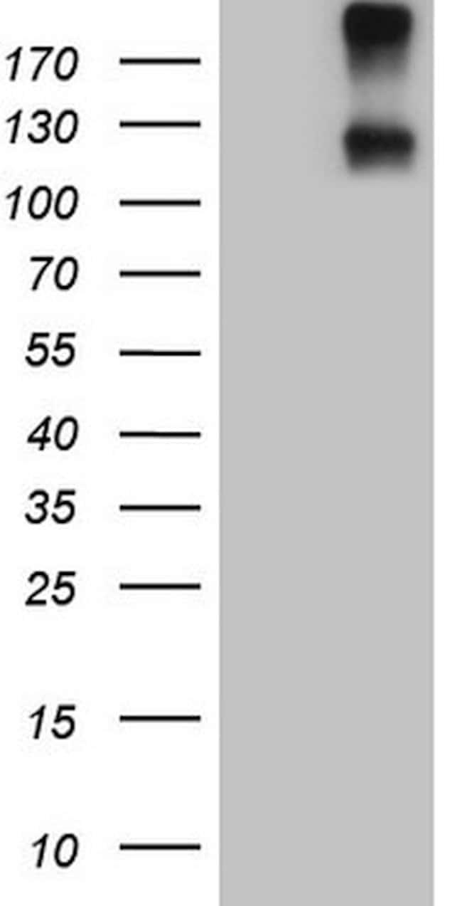 IL23R Mouse anti-Human, Clone: OTI5C4, lyophilized, TrueMAB  100 µg;